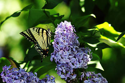 Photograph - Nectaring Swallowtail On Lilac by Debbie Oppermann