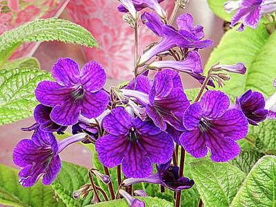 Photograph - Purple Streptocarpus by Dorothy Berry-Lound