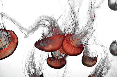 Photograph - Negative Space Jellyfish by Pacific Northwest Imagery