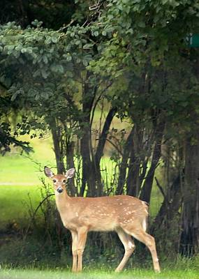 Photograph - Neighborhood Deer by Ellen O'Reilly