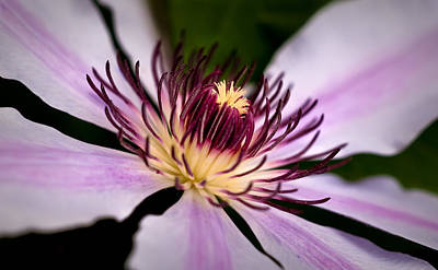 Photograph - Nellie Moser Clematis by  Onyonet  Photo Studios