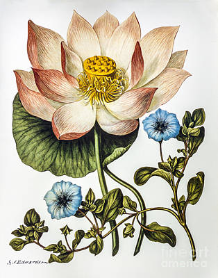 Digital Art - Nelumbo Nucifera  Restored by Pablo Avanzini