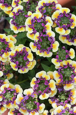 Photograph - Nemesia Aroma Rhubarb And Custard by Tim Gainey