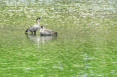 Photograph - Nene On Green Pond by David Lawson