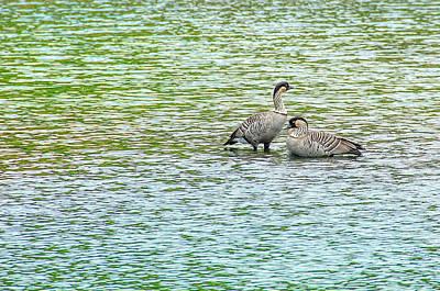 Photograph - Nene Water Wings by David Lawson