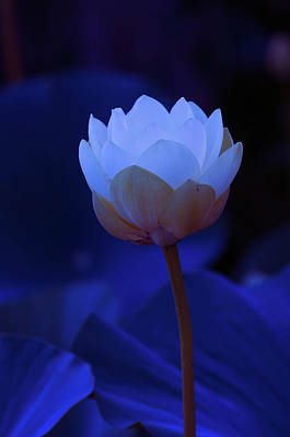 Photograph - Neon Lotus by Carolyn Dalessandro