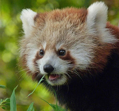 Photograph - Nepalese Red Panda Junior by Margaret Saheed