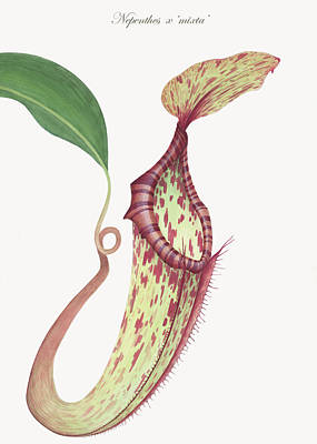 Insect Eating Plants Drawing - Nepenthes X 'mixta' by Scott Bennett