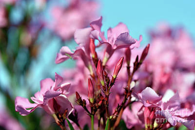 Photograph - Nerium Oleander Buds by George Atsametakis