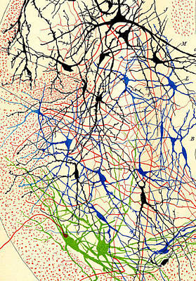 Nerve Cell Photograph - Nerve Cells Santiago Ramon Y Cajal by Science Source