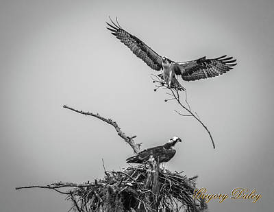 Photograph - Nest Building 2m by Gregory Daley  PPSA