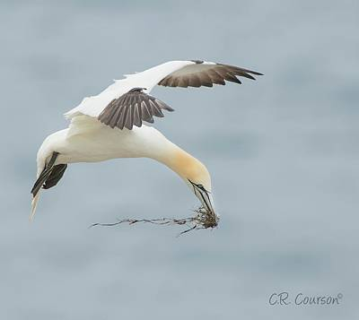 Photograph - Nest Building Gannet by CR Courson