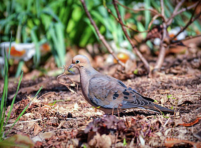 Photograph - Nest Building Mourning Dove by Kerri Farley of New River Nature