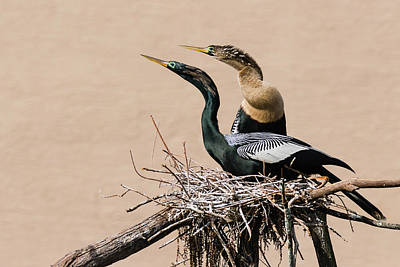 Photograph - Nesting Anhinga Couple by Dawn Currie