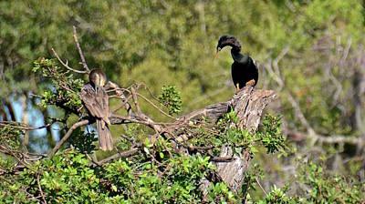 Photograph - Nesting Anhingas by Carol Bradley