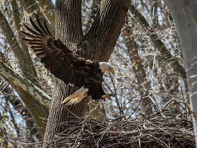Photograph - Nesting Bald Eagle by Walt Sterneman