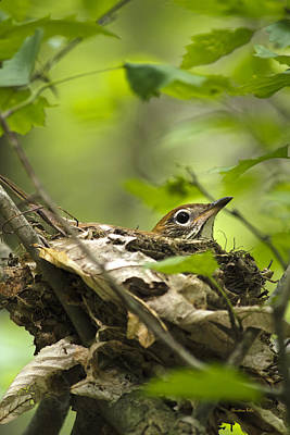 Photograph - Nesting Birds - Wood Thrush by Christina Rollo