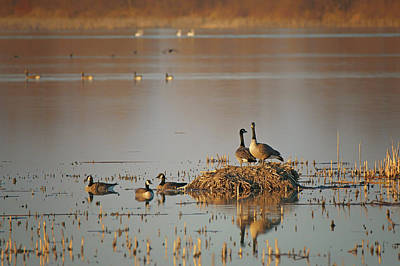 Photograph - Nesting - Canada Geese by Nikolyn McDonald