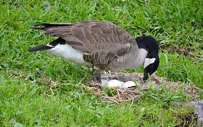 Photograph - Nesting Canada Goose With Eggs by Richard Bryce and Family