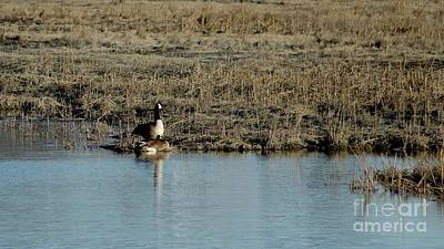 Photograph - Nesting Canadian Geese  by Margie Avellino
