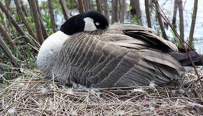 Photograph - Nesting by Cathy  Beharriell