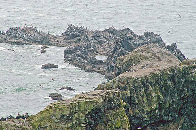 Photograph - Nesting Common Murres At  Ecola Point In Ecola State Park, Oregon by Ruth Hager