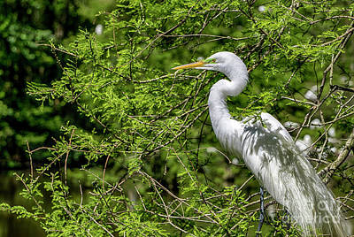 Photograph - Nesting Egret by David Smith