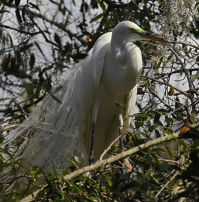 Photograph - Nesting Egret by Denise Mazzocco
