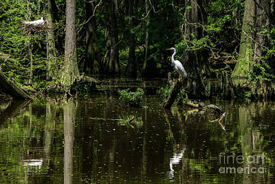Photograph - Nesting Egrets by David Smith