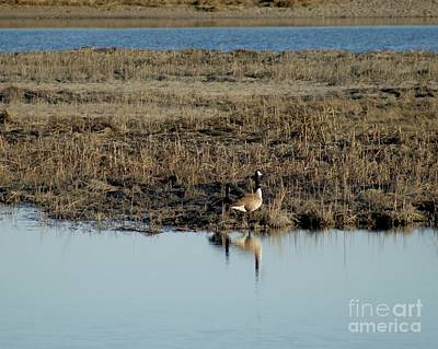Photograph - Nesting Geese In The Marshes  by Margie Avellino