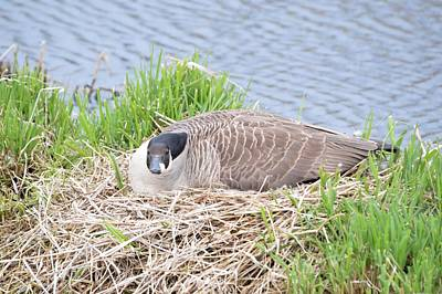 Photograph - Nesting Goose by Bonfire Photography