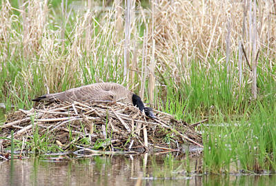 Photograph - Nesting Goose by Brook Burling