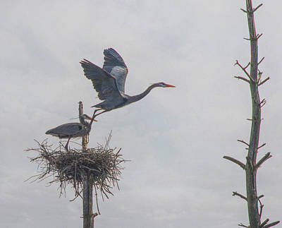 Photograph - Nesting Great Blue Heron by Betty Pauwels