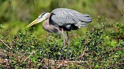 Photograph - Nesting Great Blue Heron by Carol Bradley