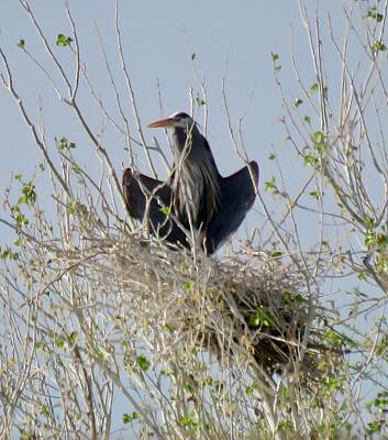 Photograph - Nesting Great Blue Heron In Horaltic Pose by Judy Kennedy