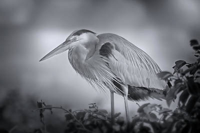 Photograph - Nesting Great Blue Heron  by Mark Andrew Thomas