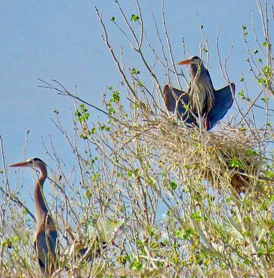 Photograph - Nesting Great Blue Herons 3 by Judy Kennedy
