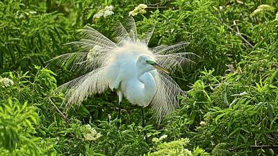 Photograph - Nesting Great Egret In Breeding Plumage And Color by Carol Bradley