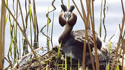 Photograph - Nesting Grebe by John Bailey Photos