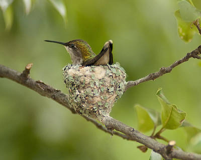 Photograph - Nesting Hummingbird by Don Wolf