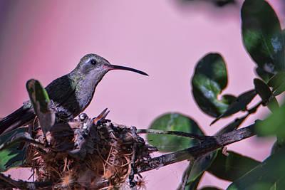 Photograph - Nesting Hummingbirds by Dan McManus