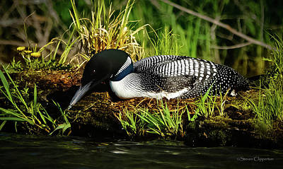 Photograph - Nesting Loon 2 by Steven Clipperton