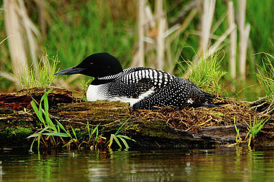 Photograph - Nesting Loon 6 by Steven Clipperton