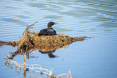 Photograph - Nesting Loon by Penny Meyers