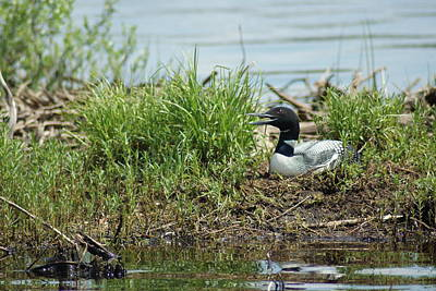 Photograph - Nesting Loon by Ron Read