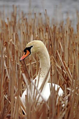 Photograph - Nesting Mute Swan by Debbie Oppermann