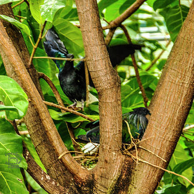 Photograph - Nesting Nicobar Pigeons by Daniel Hebard