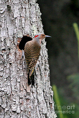 Nesting Northern Flicker Original