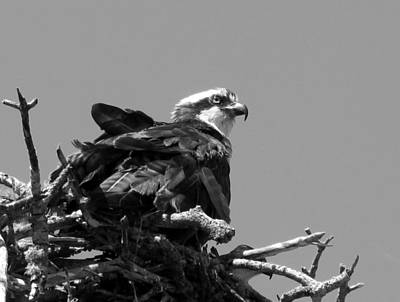 Photograph - Nesting Osprey In Black And White    by Chris Mercer
