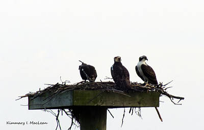 Photograph - Nesting Osprey by Kimmary I MacLean